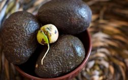Growing avocados from seed indoors