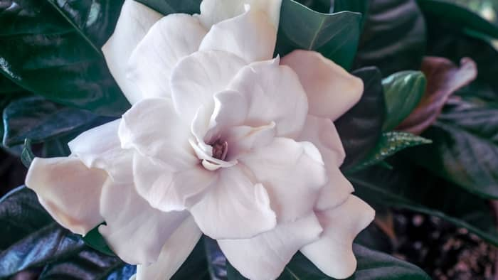 gardenia plant indoors