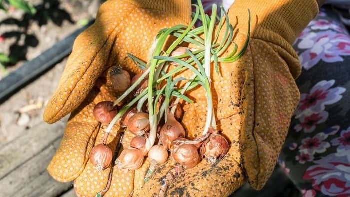 growing bunching onions from seed