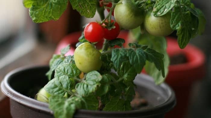 when to plant tomato seed