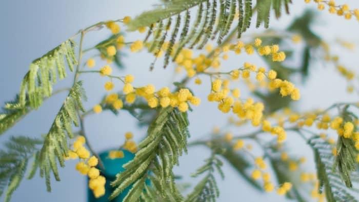 where does mimosa hostilis grow