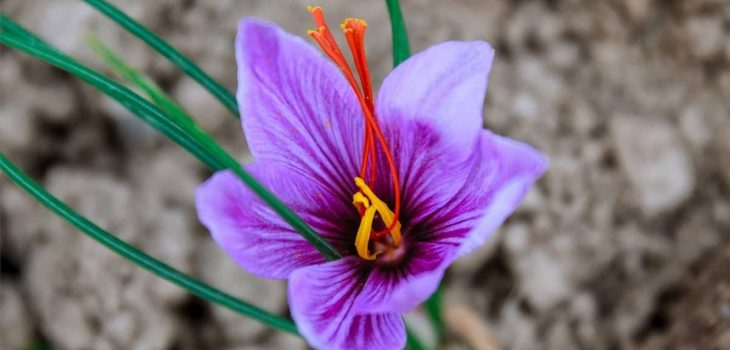 Growing Saffron Indoors Commercially