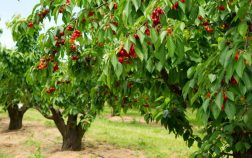 Growing a Cherry Tree Indoors