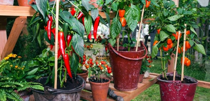 Growing a Chili Plant Indoors