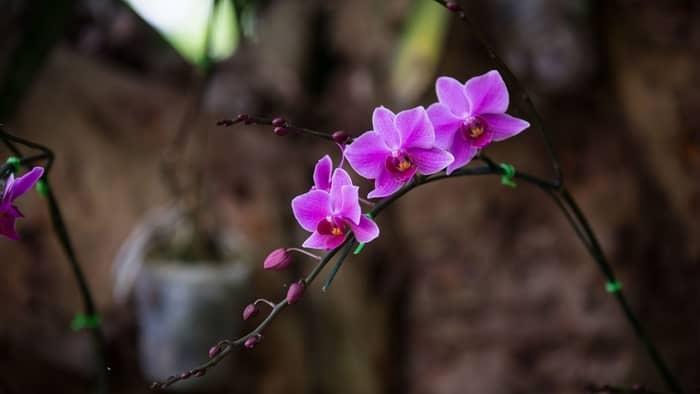 how often do vanda orchids bloom