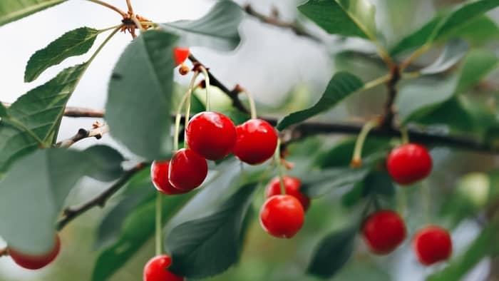 indoor cherry tree