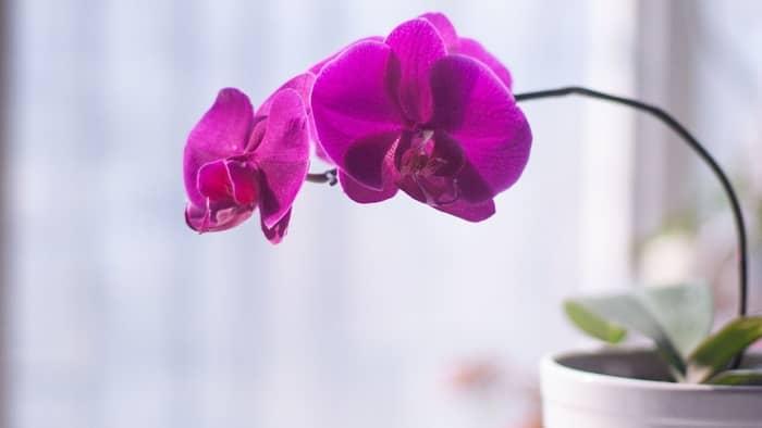 vandas orchid care